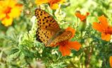 蝶々とマリンゴールド