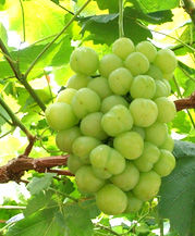 ,grapes011