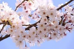 桜11_~1