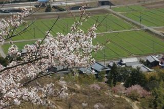 畑と桜088