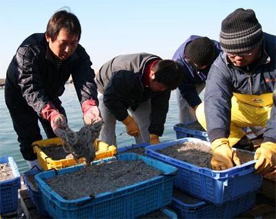 イカナゴ漁34