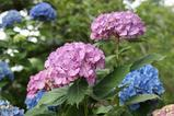 赤藤色紫陽花