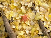 銀杏の枯れ葉