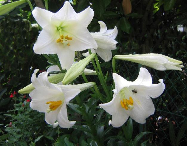 白い百合の花のコピー