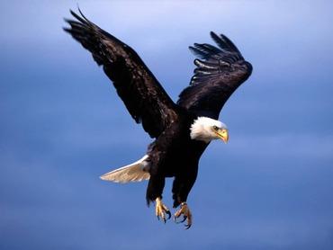 Bald_Eagle-Fearsome_Flight-1024x768