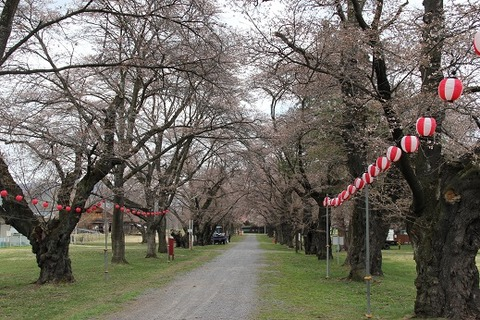 長野牧場桜1