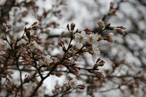 長野牧場桜2