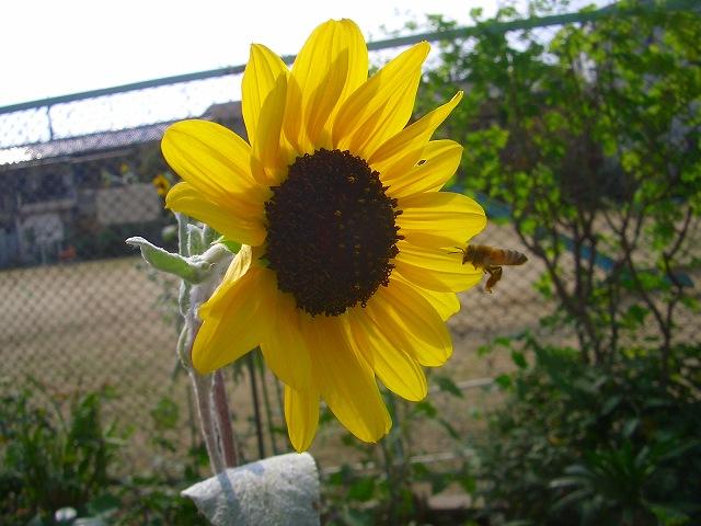 ヒマワリと蜜蜂