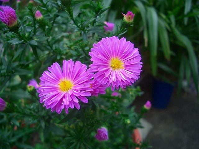 ユウゼン菊