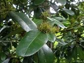 多羅葉樹3