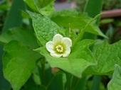 ホウズキの花