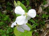 白花ハナダイコン