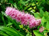 穂咲きシモツケ