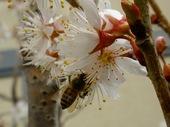 サクランボの花に蜜蜂