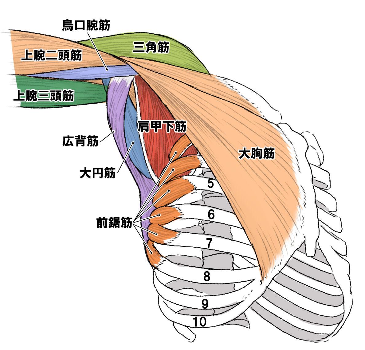 肩 の 筋肉