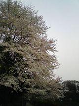 060409_sakura