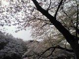 070403_sakura