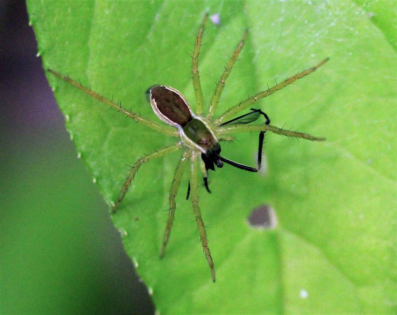 山地に多い スジアカハシリグモ : こん近のblog