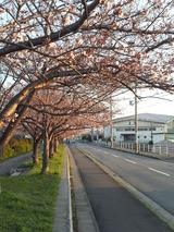 陽和中学前の桜並木