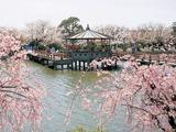 九華公園の桜
