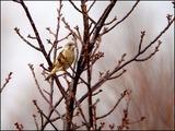 桜の芽吹きとカワラヒワ