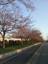 陽和中学前の桜並木3