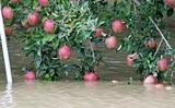 収穫間近のリンゴも水に浸かってしまった
