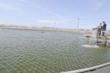 広東省の養鰻池、投餌の様子