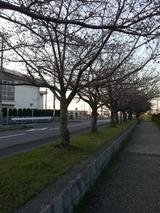 陽和中学前の桜並木2