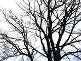 葉が落ちた街路樹ですが堂々としています