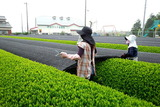 三重県鈴鹿市にある伊勢茶工房の茶葉収穫の様子