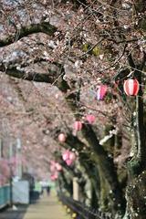 3月28日の五条川桜