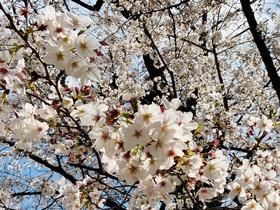 2020.03桜3