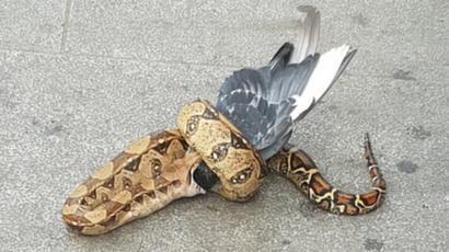 【鳥一大事】ヘビがハトを丸のみ、英ロンドンの路上で (画像閲覧注意)