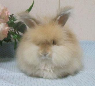 アンゴラウサギの画像 p1_6