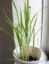 農業少女の稲06