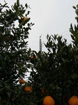 デコポンと鳥