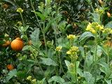 菜の花とデコポン