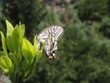 アゲハチョウ2