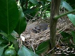 ホウジロ巣