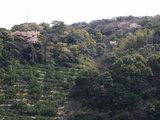 みかん畑と林