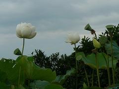 蓮とみかん園
