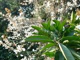 みかんと山桜