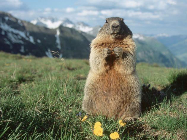 marmot1[1]