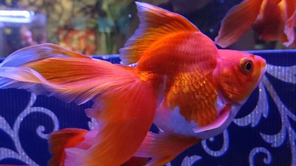 DSC_金魚9