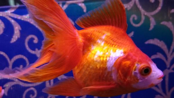 DSC_金魚8