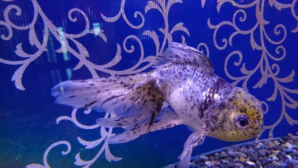 DSC_金魚4