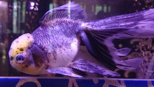 DSC_金魚6
