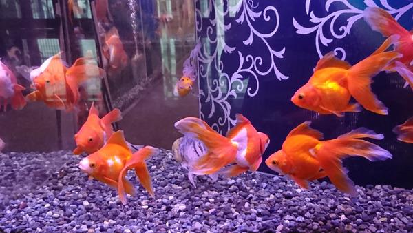 DSC_金魚7