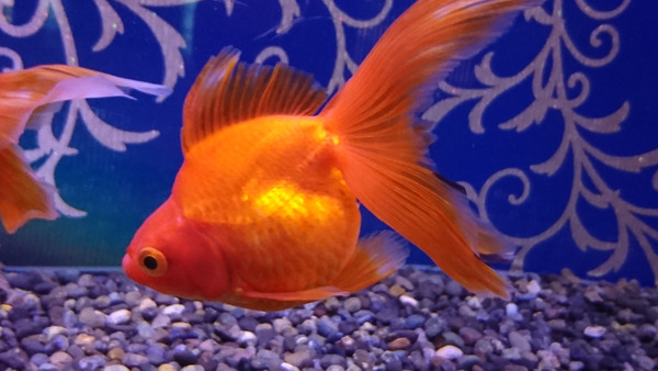 DSC_金魚5